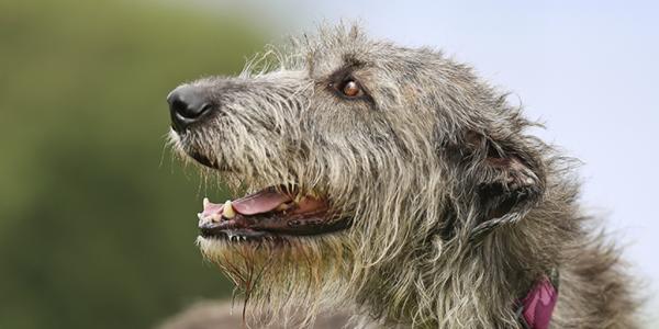 Adopt A Lucky Irish Dog Rspca Nsw