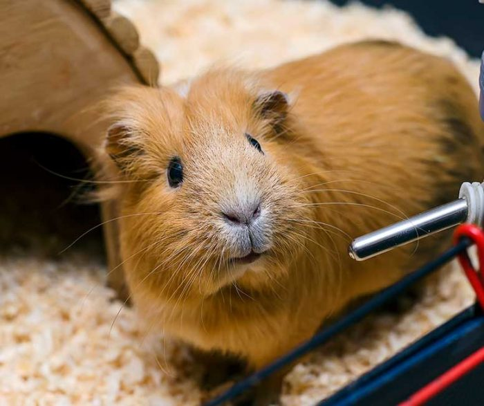 How To Care For Your Guinea Pig Rspca Nsw