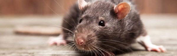 How to Care for Your Rat | RSPCA NSW