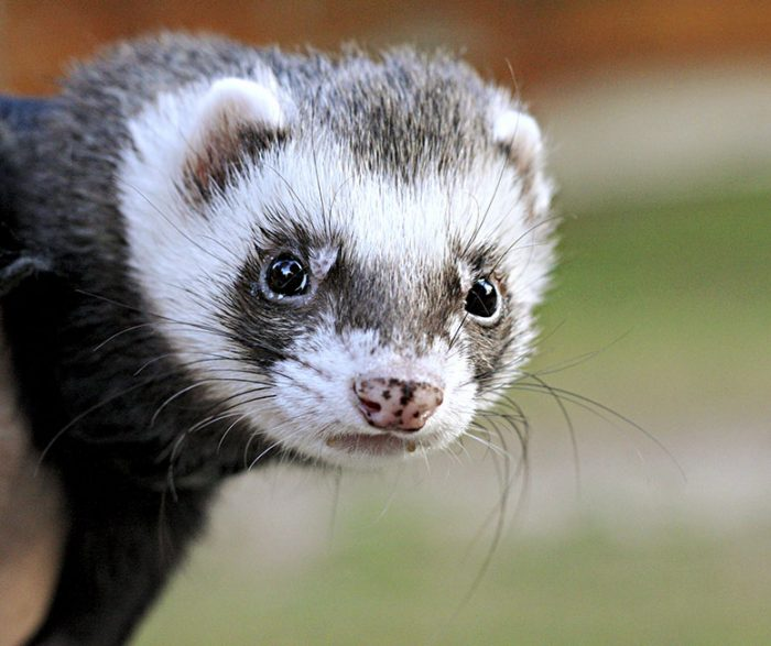 Image result for Your ferrets eating habits