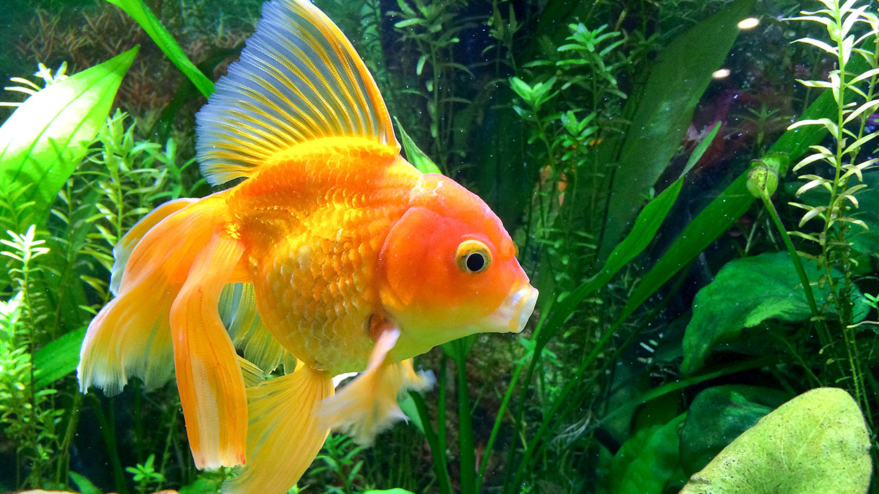 how to care for your goldfish rspca nsw