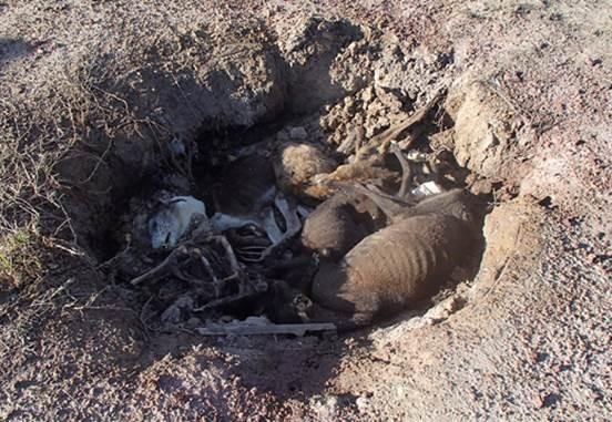 Greyhound mass grave