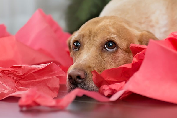 Dog in gift wrapping.