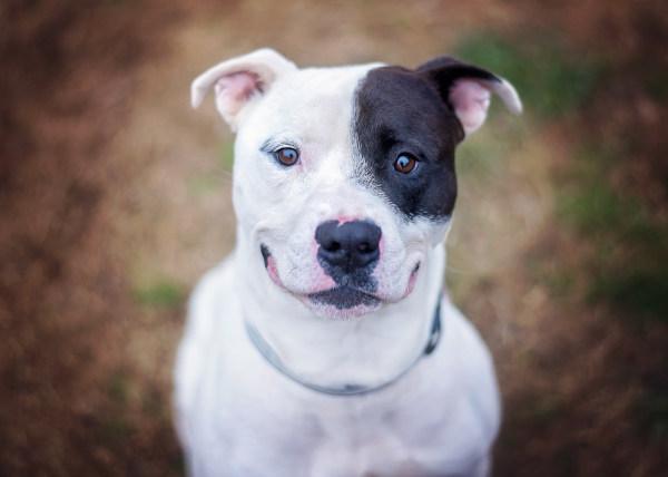 Bully breed dog